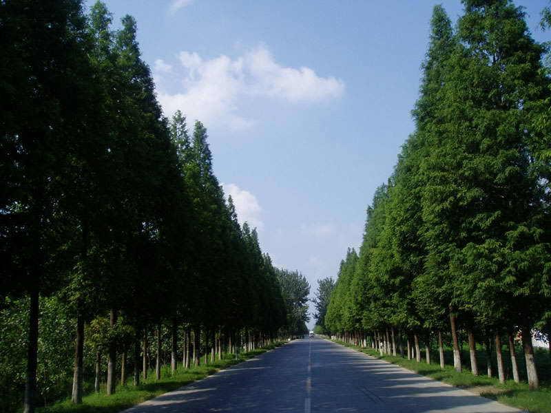 水杉树干通直挺拔,高大秀颀,树冠呈圆锥形,姿态优美,叶色翠绿秀丽